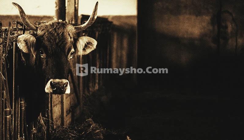 kisah sapi betina bani israil